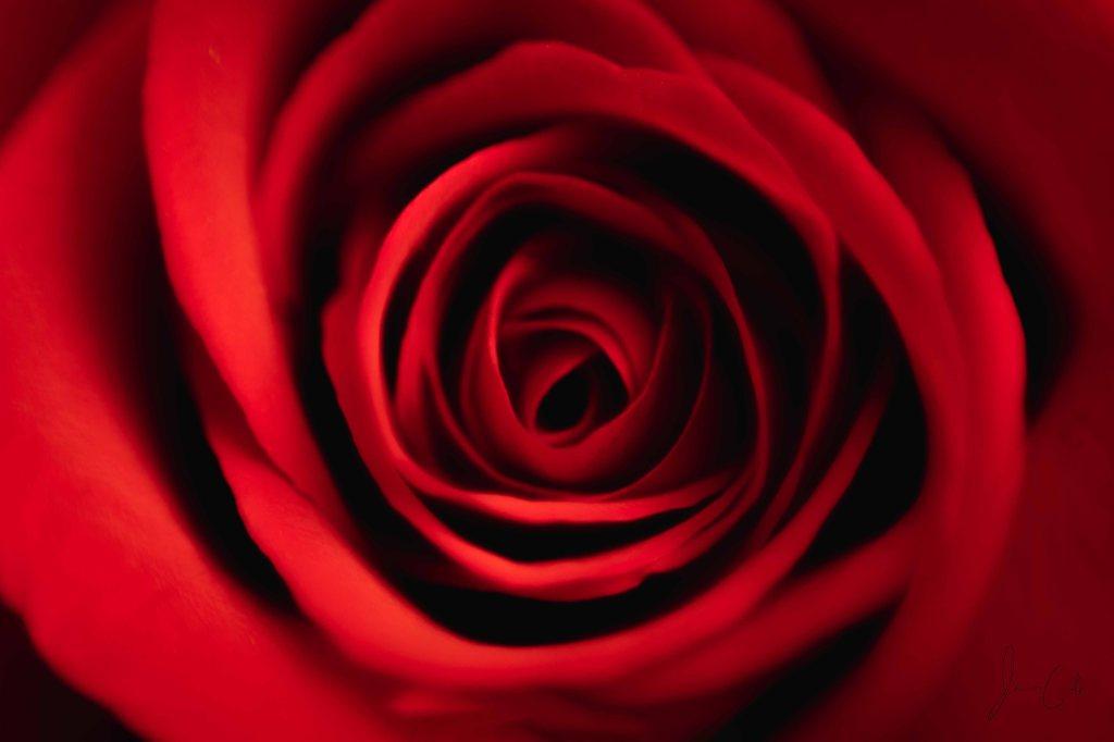 Macro shot of a red rose